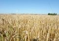 Norge kan forbyde GMO-afgrøder fra EU – for Danmark er situationen en anden…